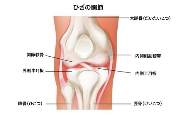ひざの関節